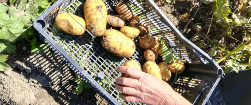 Glanage de patates au jardin partagé